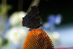 Papillon foncé sur l'echinacea de fleur Photo libre de droits