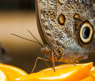 Papillon géant de hibou de forêt buvant d'une orange image libre de droits