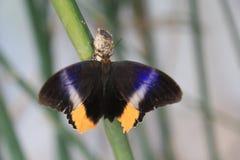 Papillon géant rougeoyant de hibou Image libre de droits