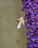 Papillon gamma argenté Image stock