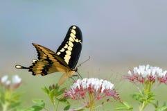Papillon géant de machaon Image libre de droits