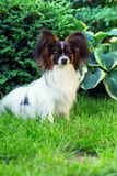 Papillon in the garden Stock Images