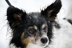 Papillon headshot with snow background Stock Image