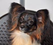Papillon hund royaltyfri foto