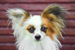 Papillon Hund Stockbilder