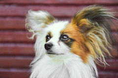 Papillon Hund Stockfotos