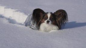 Papillon-Hund macht mutig seine Weise durch den Schnee im Winterparkvorrat-Gesamtlängenvideo stock footage