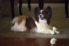 Papillon hund som spelar med hans ben Royaltyfria Foton