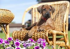 Papillon hund, stående royaltyfri bild