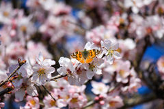 Papillon Ibiza Image stock