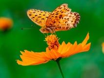 Papillon indien de fritillaire sur une fleur 13 de cosmos photo stock