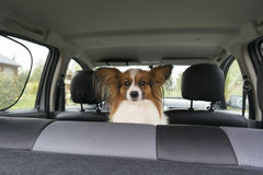 Papillon inside a car Stock Images