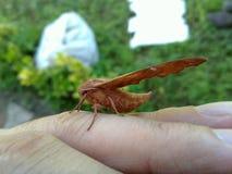 Papillon intéressant, Iran, Gilan, Rasht photo stock