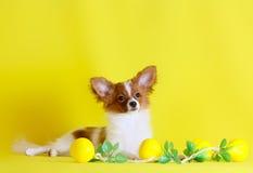 Papillon ist auf einem gelben Hintergrund Kleiner weißer Hund mit den roten Ohren und Kopf Stockbild