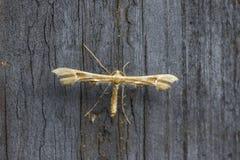 Papillon jaunâtre de nuit Image libre de droits