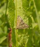 Papillon jaunâtre de nuit Photo stock