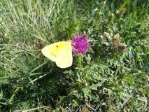 papillon jaune Photos stock