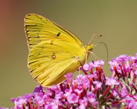 papillon jaune Photographie stock
