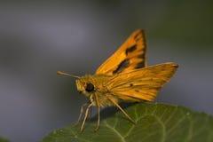 papillon jaune Image libre de droits