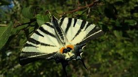 papillon jaune Photo libre de droits