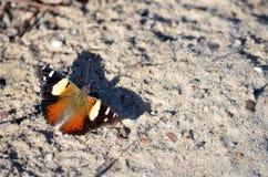 Papillon jaune australien d'amiral, itea de Vanessa Photos stock