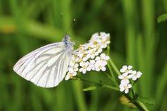 Papillon jaune blanc Image libre de droits