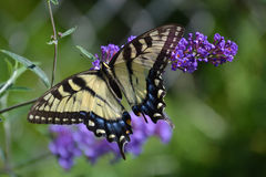 Papillon jaune de machaon sur un buisson de papillon pourpre images stock