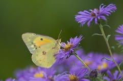 Papillon jaune de suifur Photo stock