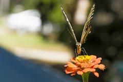 Papillon jaune de Tiger Swallowtail sur un Zinnia orange Image stock