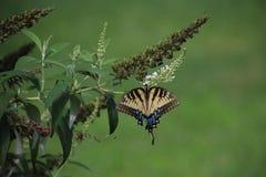 Papillon jaune sur le buisson de papillon blanc Images libres de droits