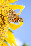 Papillon jaune sur un tournesol de fleur Photographie stock libre de droits