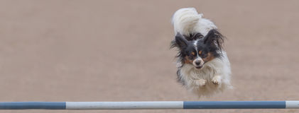Papillon jumps over an agility hurdle Royalty Free Stock Image