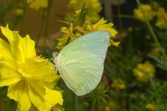 Papillon (l'émigrant de citron) Images libres de droits