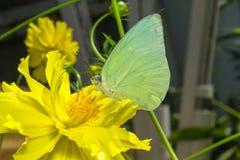 Papillon (l'émigrant de citron) Photos libres de droits