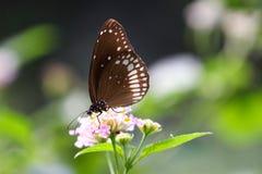 Papillon - la corneille commune Photographie stock libre de droits