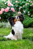 Papillon on the lawn. Dog of the breed Papillon on the lawn in the garden Royalty Free Stock Photos