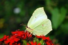 Papillon lumineux se reposant sur des fleurs Photos stock