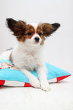 Papillon lying on a pillow Stock Photography