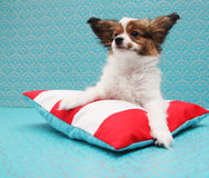Papillon lying on a pillow Royalty Free Stock Image