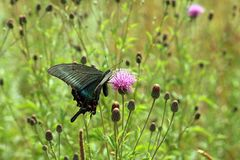 Papillon, machaon noir Photographie stock