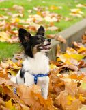 Papillon male is ready to jump off a heap of leave Stock Photo