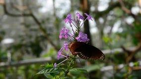 Papillon mangeant le pollen Aucun son banque de vidéos