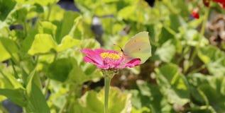 Papillon mangeant sur la fleur rose, baie d'Ieranto, Massa Lubrense, Italie photos stock