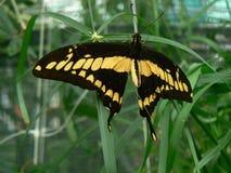 Papillon - mariposa Imágenes de archivo libres de regalías