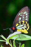 Papillon masculin de Birdwing de cairns Photos stock