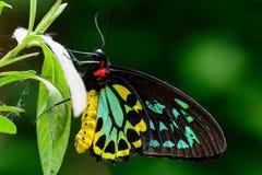 Papillon masculin de Birdwing de cairns Images stock