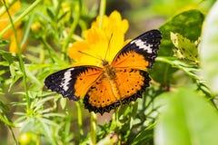 Papillon de lacewing de léopard Photographie stock