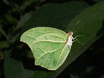 Papillon Mimetic Images stock
