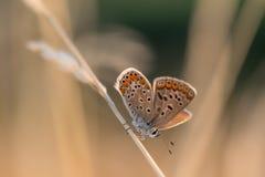Papillon minuscule orange et bleu sur une lame d'herbe sèche dans le matin Photos stock