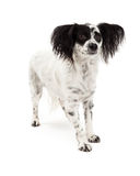 Papillon Mix Breed Dog Standing Royalty Free Stock Photo